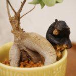 【観葉植物】ハイドロカルチャーへの植え替え方法