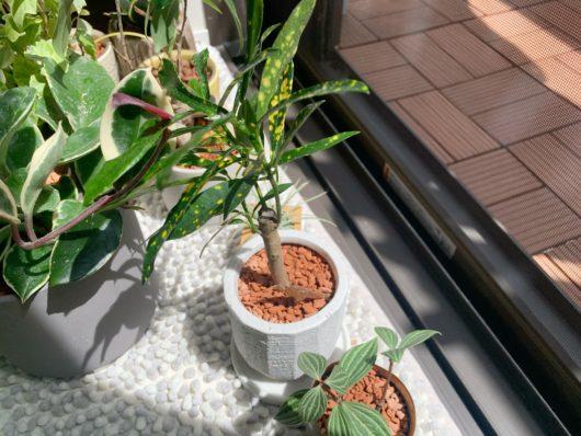 クロトン 観葉植物